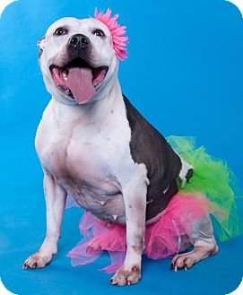 Pit Bull Terrier/American Staffordshire Terrier Mix Dog for adoption in Chicago, Illinois - Cocoa