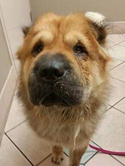 Shar Pei Mix Dog for adoption in Scottsdale, Arizona - Murphy