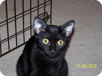 Domestic Shorthair Cat for adoption in Tucson, Arizona - Tom