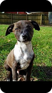 Pointer Mix Puppy for adoption in DeForest, Wisconsin - Skully