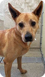 Cattle Dog Mix Dog for adoption in Shorewood, Illinois - Veronica