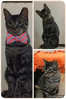Domestic Shorthair Cat for adoption in Pendleton, New York - Taylor