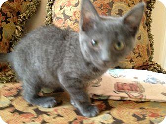 Domestic Mediumhair Kitten for adoption in East Hanover, New Jersey - Aqua Girl