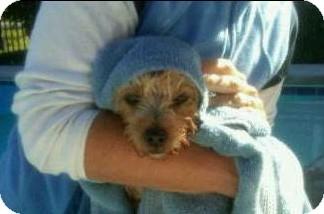 Yorkie, Yorkshire Terrier Dog for adoption in Big Bend, Wisconsin - Harlie