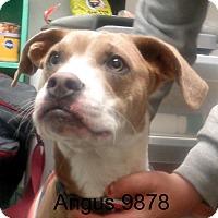 Adopt A Pet :: Angus - baltimore, MD