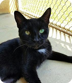 Domestic Shorthair Cat for adoption in Umatilla, Florida - Quinn