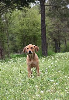 Beagle/Redbone Coonhound Mix Dog for adoption in Jefferson, Texas - Tootsie