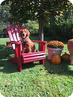 Nova Scotia Duck-Tolling Retriever/Retriever (Unknown Type) Mix Puppy for adoption in Bridgewater, New Jersey - Toby