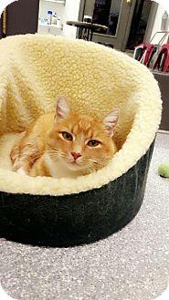 Domestic Shorthair Cat for adoption in Chaska, Minnesota - Fiora