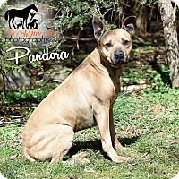 Adopt A Pet :: Pandora - Broadway, NJ