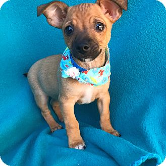 Chihuahua Mix Puppy for adoption in Burbank, California - Alfalfa