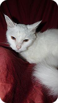 Turkish Angora Cat for adoption in Bentonville, Arkansas - Falkor