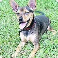 Adopt A Pet :: Rambo - Mocksville, NC
