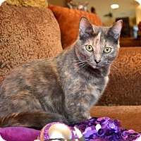 Domestic Mediumhair Cat for adoption in Dallas, Texas - Ashley
