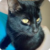 Adopt A Pet :: Black Knight - Green Bay, WI