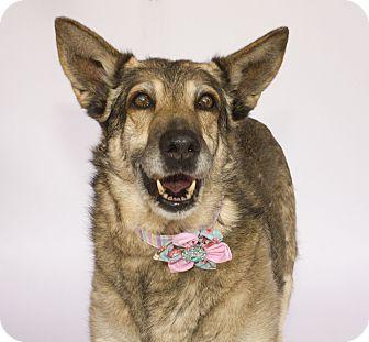 German Shepherd Dog Dog for adoption in Acton, California - Dusty