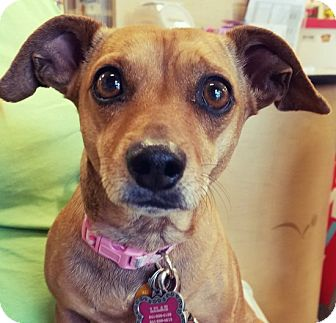 Dachshund/Chihuahua Mix Dog for adoption in Las Vegas, Nevada - Sandy