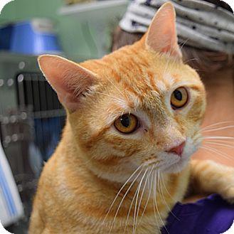 Domestic Shorthair Cat for adoption in Canastota, New York - Caesar