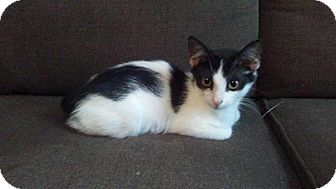 Domestic Shorthair Kitten for adoption in Seminole, Florida - Zulu