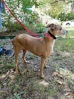 Italian Greyhound Dog for adoption in Argyle, Texas - Miranda in Austin Area