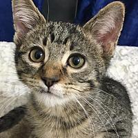Domestic Shorthair Kitten for adoption in Bridgeton, Missouri - Freddie-Fostered in KC