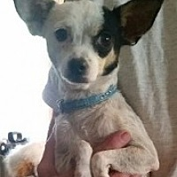 Adopt A Pet :: Birdy - Mesa, AZ