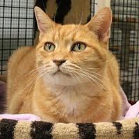 Domestic Shorthair Cat for adoption in Morgan Hill, California - Yoyo