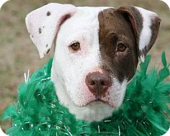 American Staffordshire Terrier Mix Dog for adoption in Richardson, Texas - Harlie