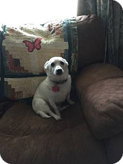 Jack Russell Terrier/Chihuahua Mix Dog for adoption in Baltimore, Maryland - Popeye (COURTESY POST)