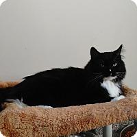 Domestic Mediumhair Cat for adoption in Cloquet, Minnesota - Stella