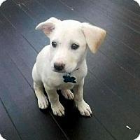 Adopt A Pet :: Laney - Houston, TX
