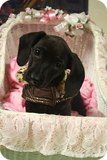 Dachshund Mix Puppy for adoption in Homewood, Alabama - Emmy