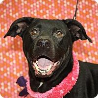 Labrador Retriever Mix Dog for adoption in Jackson, Michigan - Patches