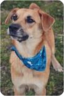 Retriever (Unknown Type)/Labrador Retriever Mix Dog for adoption in Ossipee, New Hampshire - Browny
