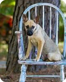 Shepherd (Unknown Type) Mix Puppy for adoption in Rexford, New York - Anna