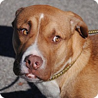 Boxer Mix Dog for adoption in Anniston, Alabama - Adam