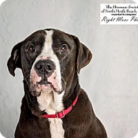 American Bulldog Mix Dog for adoption in North Myrtle Beach, South Carolina - Buster