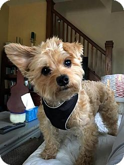 Yorkie, Yorkshire Terrier/Poodle (Miniature) Mix Dog for adoption in Sinking Spring, Pennsylvania - Action Jackson