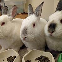 Californian Mix for adoption in Alexandria, Virginia - Taj, Louie, and Jacob