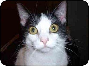 Domestic Shorthair Cat for adoption in Stuarts Draft, Virginia - Luke