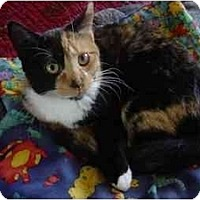 Domestic Shorthair Cat for adoption in Little Falls, New Jersey - Bijou (MG)