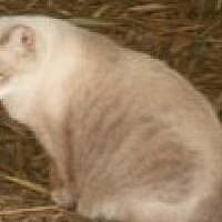 Siamese Cat for adoption in Naples, Florida - Fiona