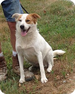 Collie Mix Dog for adoption in Texico, Illinois - Zailey - 53 lbs