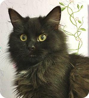 Domestic Longhair Kitten for adoption in Grants Pass, Oregon - Doro