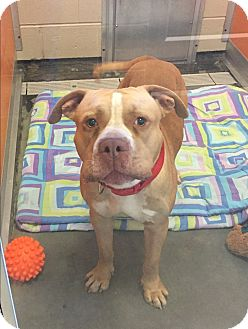 Pit Bull Terrier Mix Dog for adoption in Wilmington, Delaware - McGregor