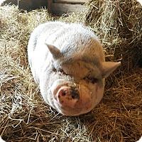 Adopt A Pet :: Gordon - Elyria, OH
