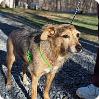 Jack Russell Terrier/Australian Shepherd Mix Dog for adoption in Whitehall, Pennsylvania - Comet
