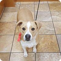 Adopt A Pet :: Baylay Boo - Las Vegas, NV