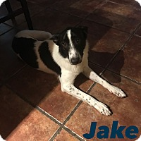 Adopt A Pet :: JAKE 1 YR BORDER COLLIE MALE - Mesa, AZ