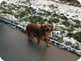 Dachshund Mix Dog for adoption in Seattle, Washington - Goldie